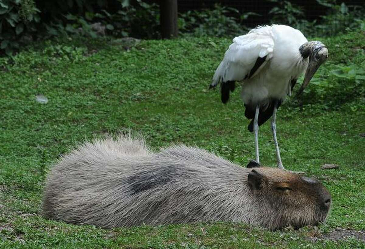An African stork and a capybara are seen at Schonbrunn zoo in Vienna.