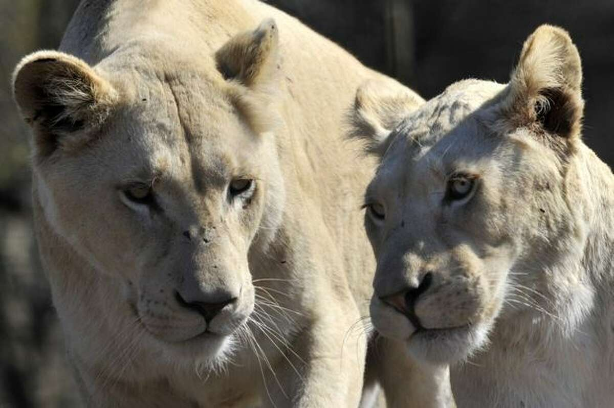 A pair of white lions are pictured at the Lion Park in Ceperdown, some 80 kilometers west of Durban on June 20, 2010.
