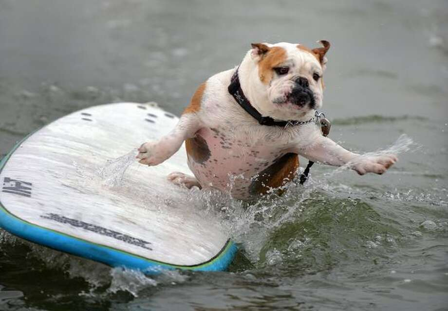 A dog surfs during the 4th Annual Loews Coronado Bay Resort Surf Dog Competion in Imperial Beach, California. Photo: Getty Images / Getty Images