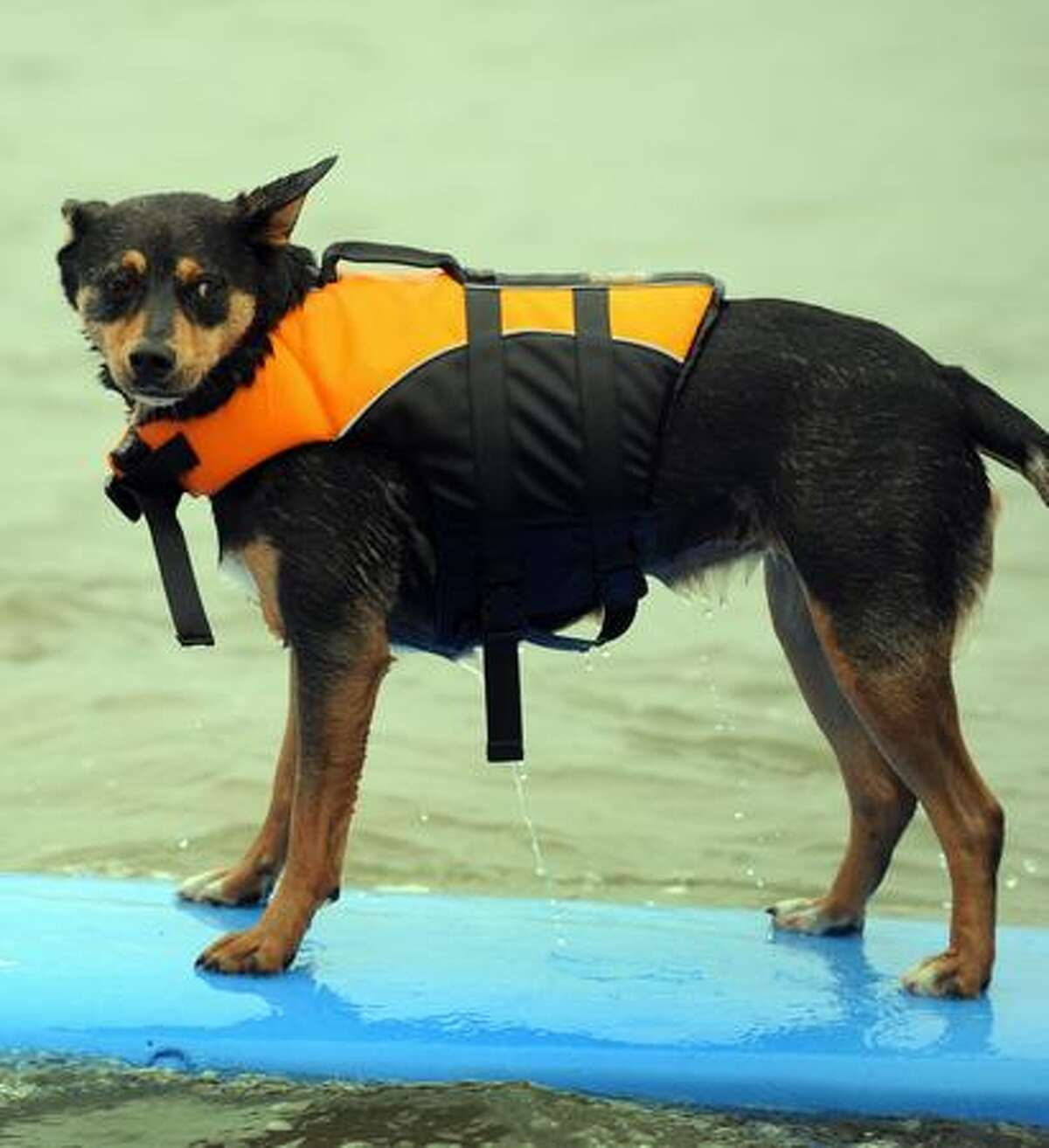 A dog surfs during the 4th Annual Loews Coronado Bay Resort Surf Dog Competion in Imperial Beach, California.