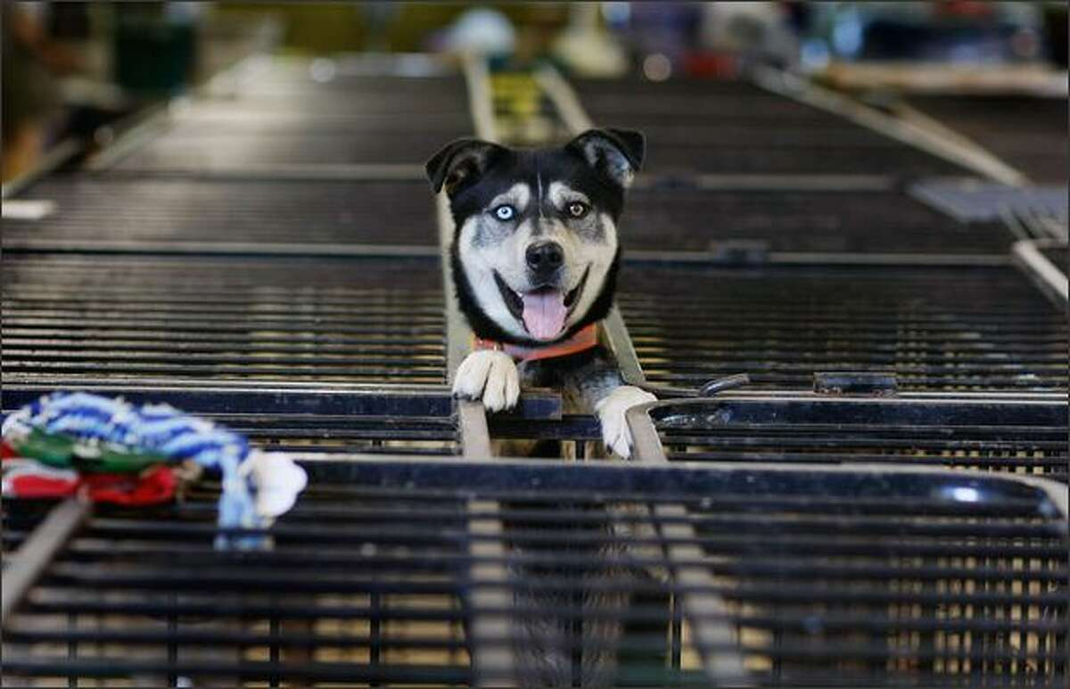 A dog stands in a cage on Sunday in Cedar Rapids, Iowa, after being dropped off at an animal shelter for pets either found abandoned or that people drop off after the Cedar River inundated the city with flood waters.