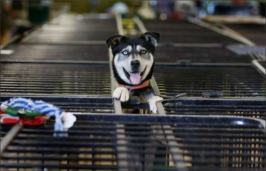 A dog stands in a cage on Sunday  in Cedar Rapids, Iowa, after being dropped off at an animal shelter for pets either found abandoned or that people drop off after the Cedar River inundated the city with flood waters. Photo: Getty Images / Getty Images
