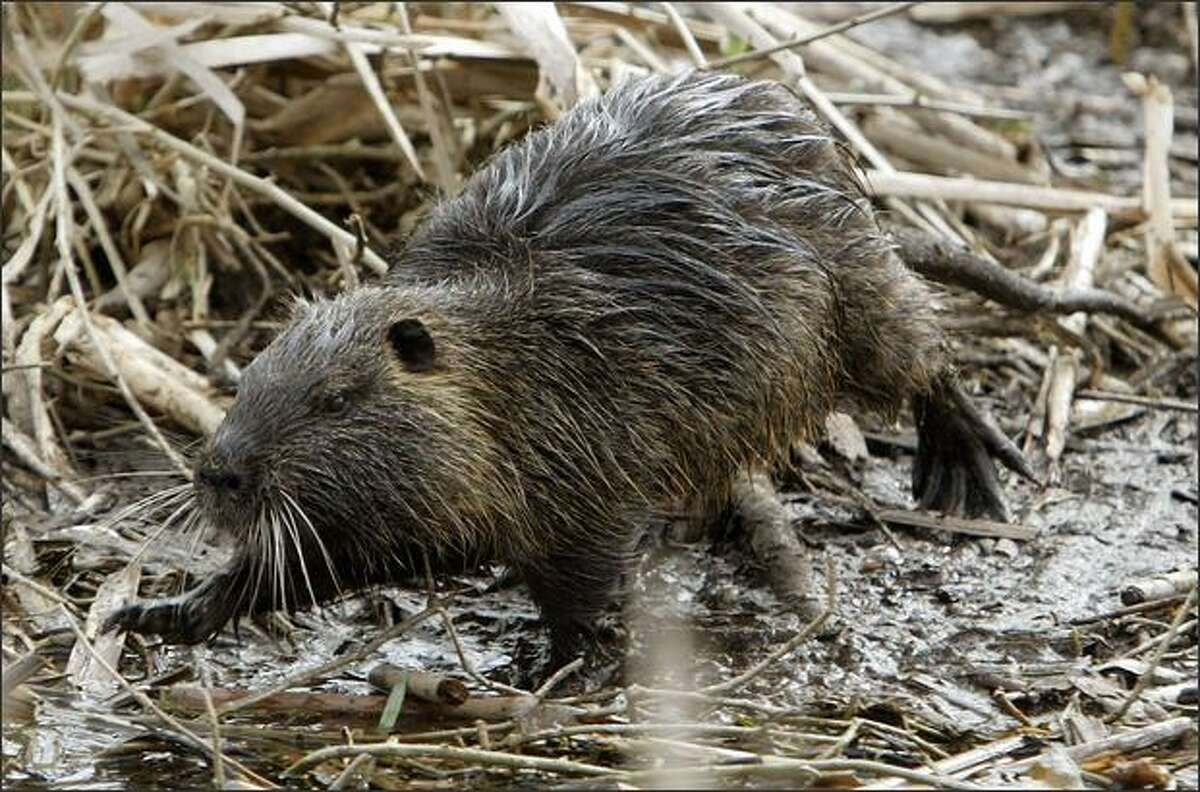 Nutria can be mistaken for beavers but are smaller, with a ratlike tail. Improving weather has caused their numbers to rebound in the region. Brought to the state for their fur, they quickly became pests.