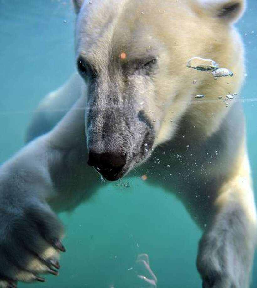 "A polar bear refreshes in his ""Yukon Bay"" pool at the zoo in Hanover, central Germany, on June 29, 2010. Summer brought a warm and sunny day to wide parts of the country. Photo: Getty Images / Getty Images"