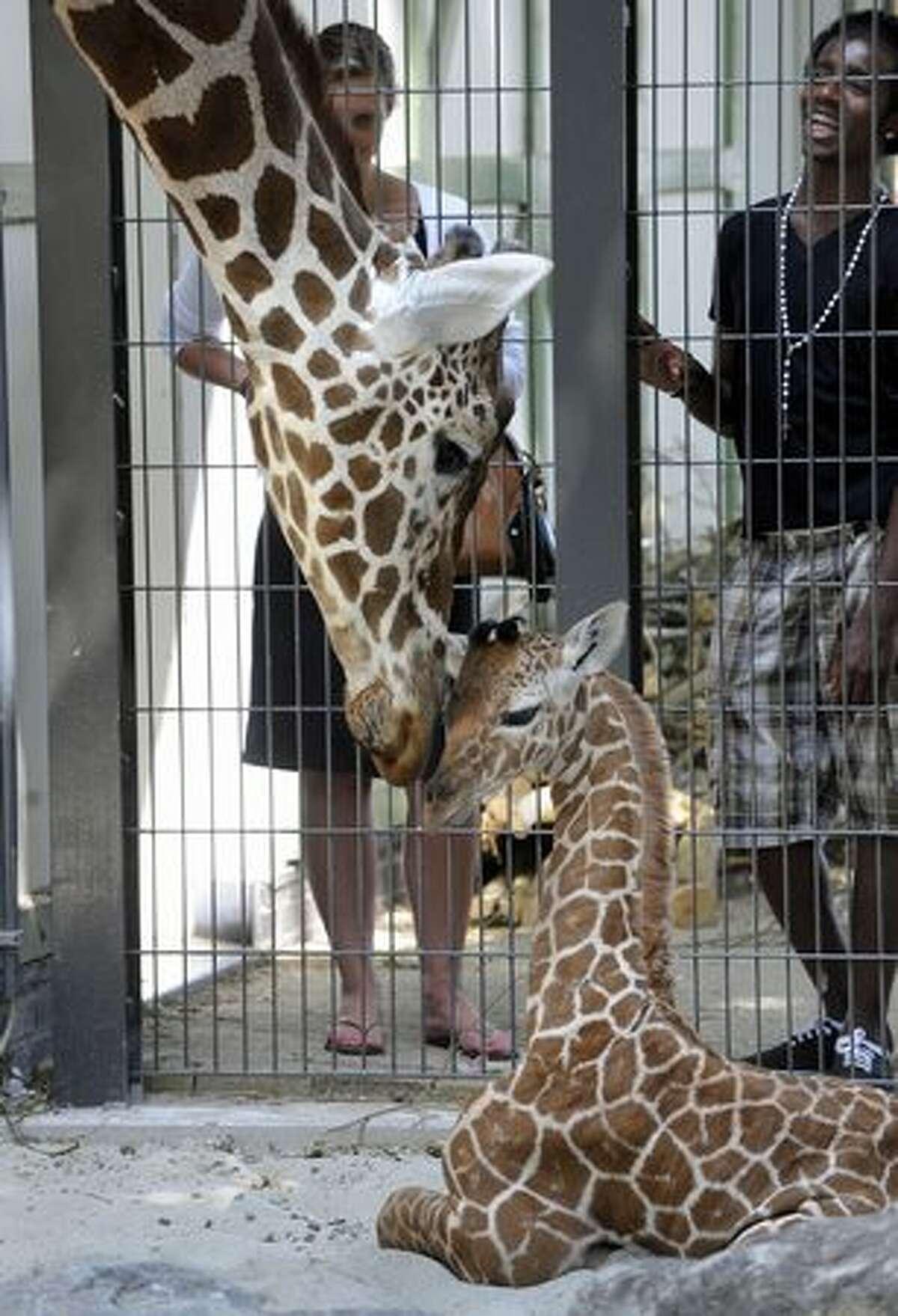 Giraffe mother Iwana takes care of her newborn baby in Artis zoo in Amsterdam, on June 28, 2010.