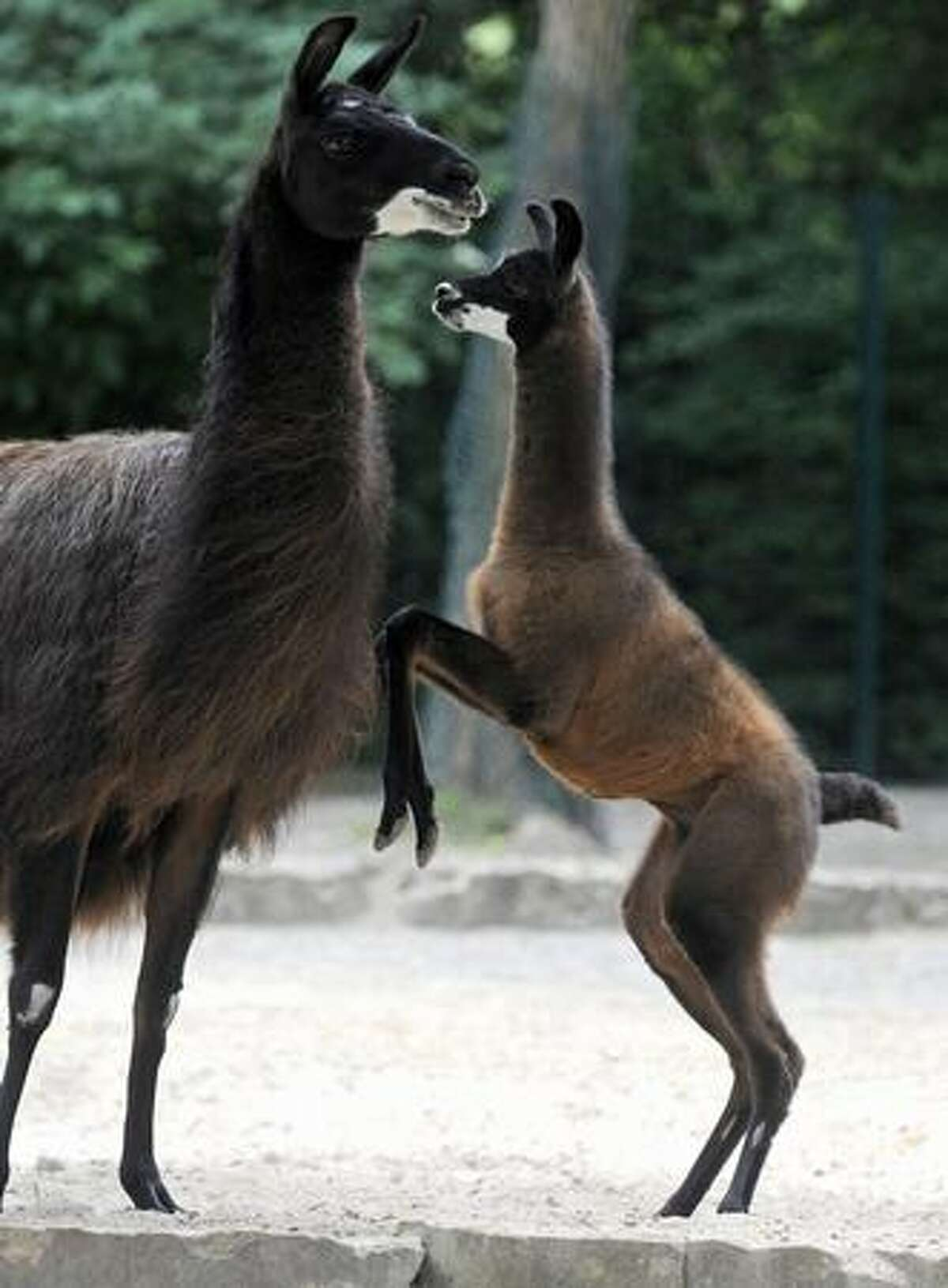 Llama baby Moren plays with its mother Sarotti at the zoo in Hannover, northern Germany. The male llama was born on June 21, 2009.