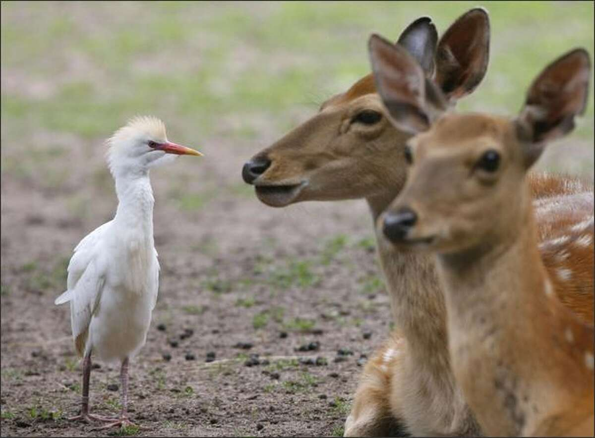 A cattle egret walks past two Sika deer at the zoo in Nuremberg, Germany.