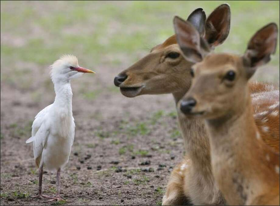 A cattle egret walks past two Sika deer at the zoo in Nuremberg, Germany. Photo: Getty Images / Getty Images