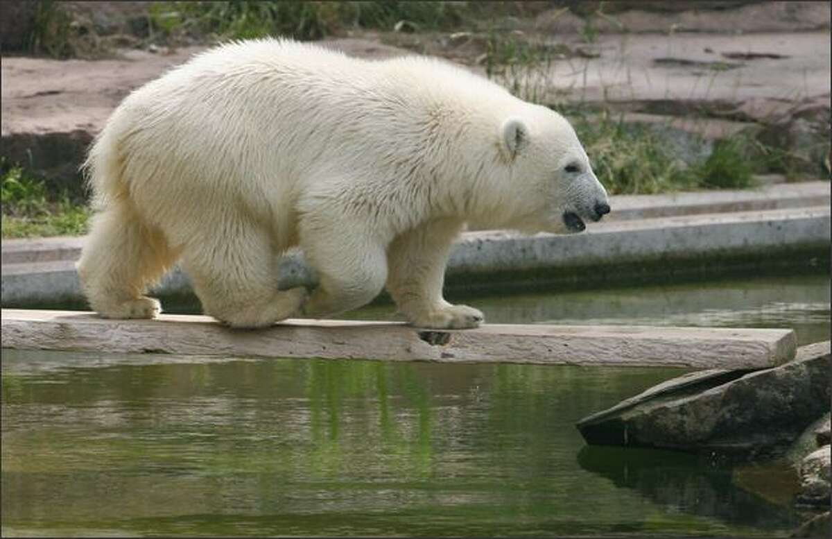 Polar bear cub Flocke walks through her enclosure at the zoo in Nuremberg, Germany. Flocke -- German for snowflake -- has been hand-reared by zookeepers because of fears her mother Vera might harm her.