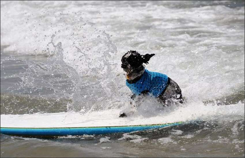 A dog participates at the 3rd Annual Loews Coronado Bay Resort surf dog competition in Imperial Beach. This is the largest surfing competition for dogs.