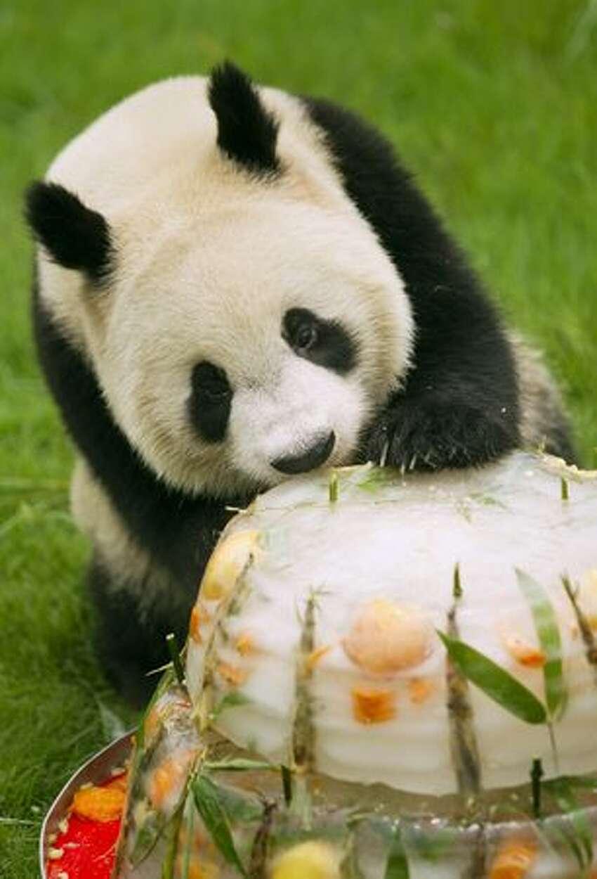 A giant panda eats an ice cake as a group of nine