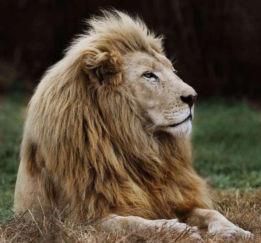 A lion rests at Lions Park, near Pretoria, on June 29, 2010.