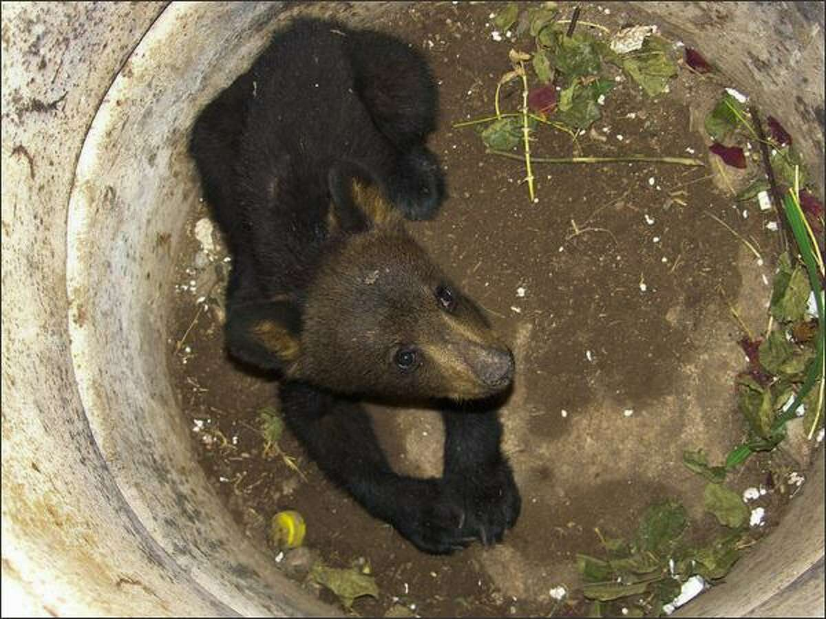 A bear cub found in a cemetery by the employees in Saltillo, Cohauila, Mexico state. The guards of the graveyard, who rescued the bear cub, had reported the presence of a female bear with two bear cubs, abandoned one of them in its flee.