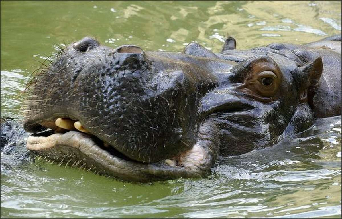 A hippopotamus swims in a pond at the zoo in Cologne, Germany.