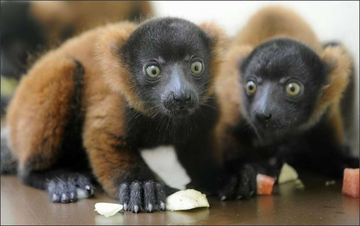 Two Red Ruffed Lemurs, Linus (L) and Carlie, sit in their enclosure at the zoo in Cologne, Germany. The Red Ruffed Lemurs (Varecia rubra), of a critically endangered species native to Madagascar, were born as triplets on last May 20 in the zoo.