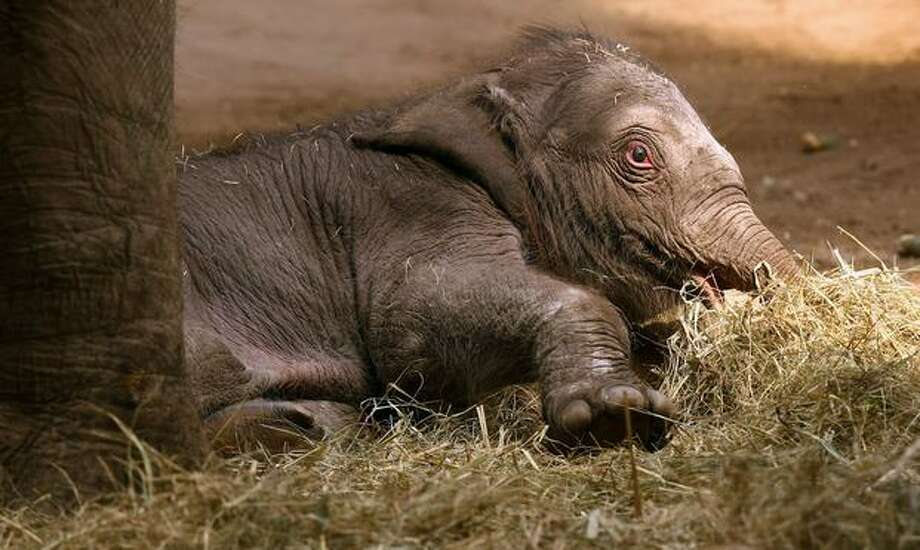 An unnamed baby elephant calf explores alongside his mother Thura the elephant barn at the Hagenbeck Zoo in Hamburg, Germany. The female calf was born on Saturday July 04 as the fifth calf of Mother elefant Thura and the twelfth Indian elephant of the Hamburg Hagenbeck zoo. Photo: Getty Images / Getty Images