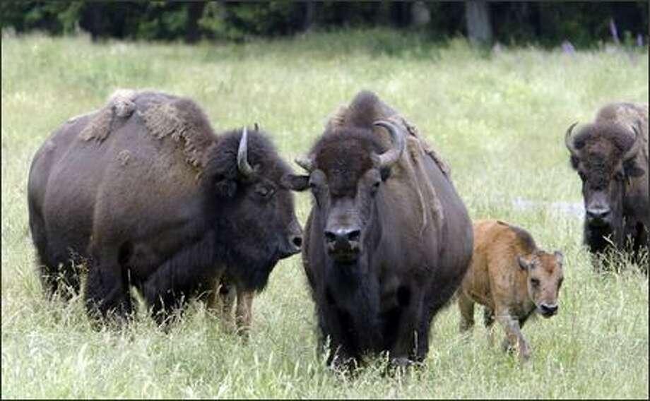 Bison graze in the free-roaming area at Northwest Trek Animal Park near Eatonville. Photo: Gilbert W. Arias, Seattle Post-Intelligencer / Seattle Post-Intelligencer