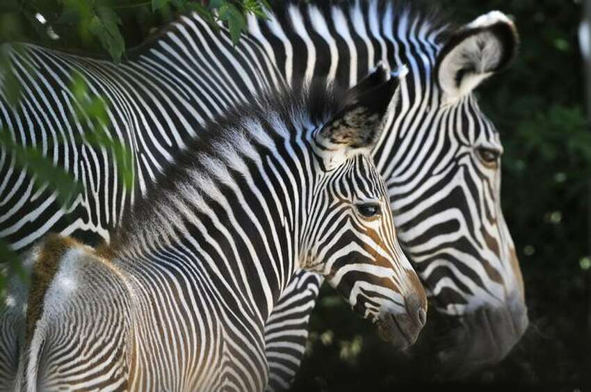 One of the two newly-born grevy's zebra is pictured at Mulhouse zoo, eastern France.