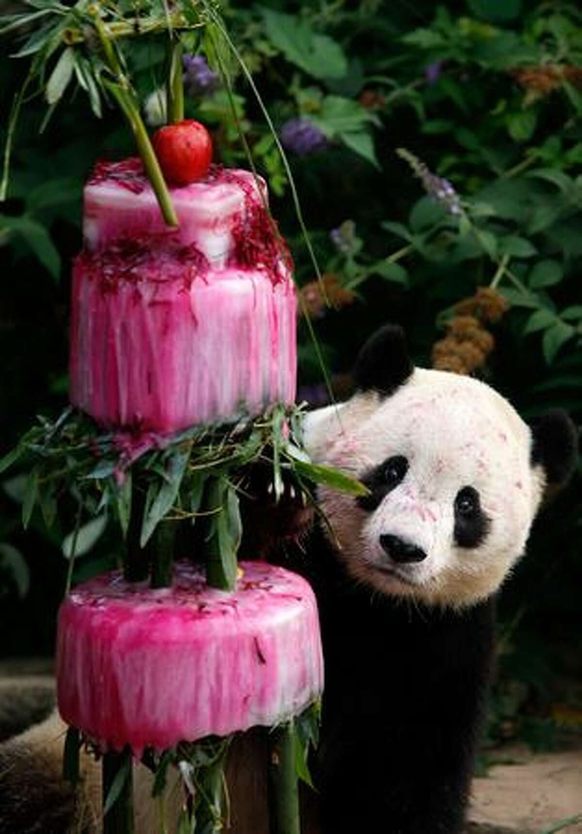 Giant panda Tai Shan checks out his birthday cake at the National Zoo in Washington, DC. The zoo held an event to celebrate the panda's fourth birthday with a frozen cake made from water, bamboo, shredded beets and beet juice.
