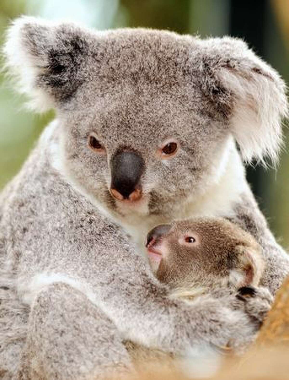 Picture taken at the Beauval zoo in Saint-Aignan, central France of Alkoomie, of a eight-month-old baby Koala, with her mother Alguna. It is the first birth of a baby koala in France.
