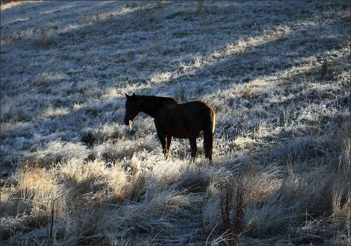 A brood mare grazes in a frost covered paddock at Waikouaiti in Dunedin, New Zealand. Much of Dunedin was covered by frost after overnight temperatures plunged to minus 6 degrees celsius.