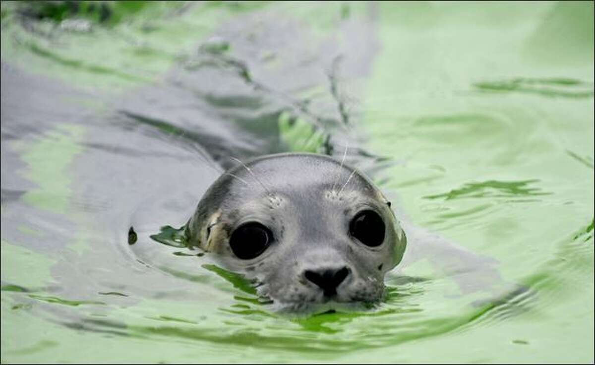 A seal swims in a new pool of the seal breeding station in Norddeich, Germany. Between 30 and 80 orphaned seals are brought to the station yearly, where they are brought up and released to the North Sea afterwards.