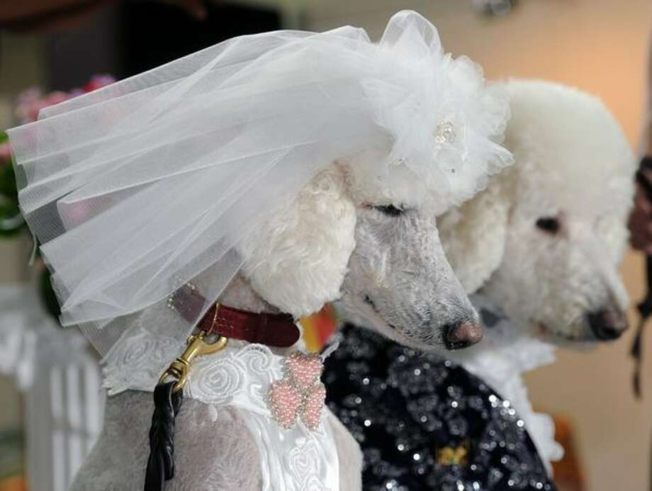 "Dogs dressed as a ""wedding couple"" pose for photos during a pets show in Taipei. Photo: Getty Images / Getty Images"