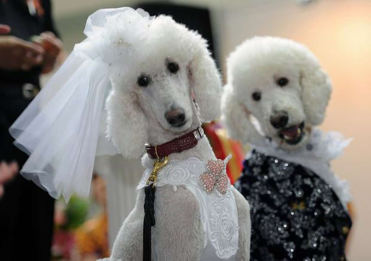 Dogs dressed as a