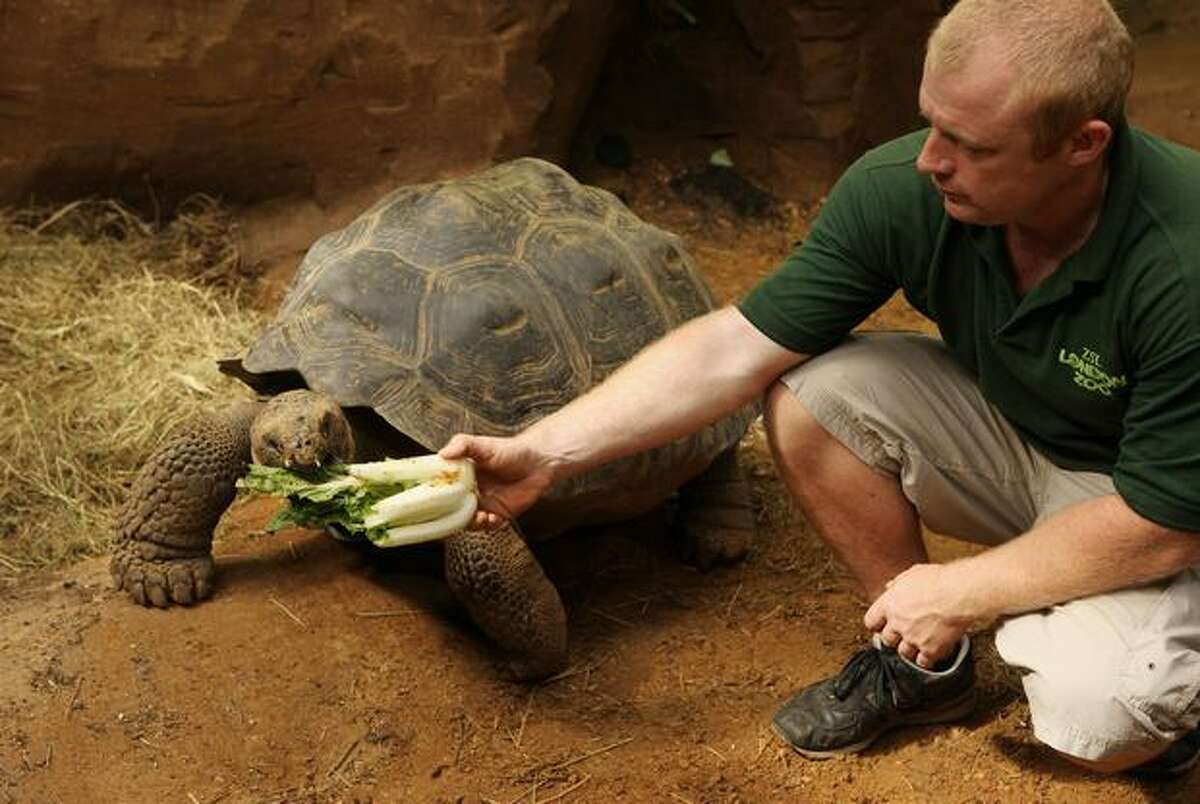 Ian Stephen, ZSL's Assistant Curator of Herpetology, feeds the Galapagos tortoise Dolly, aged 16, in the new