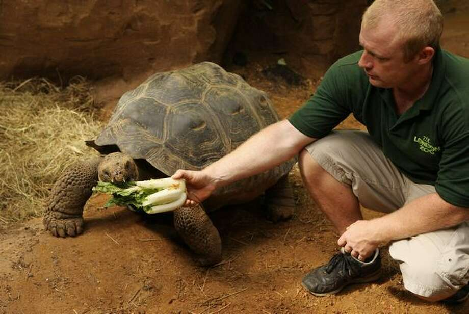 "Ian Stephen, ZSL's Assistant Curator of Herpetology, feeds the Galapagos tortoise Dolly, aged 16, in the new ""Giant of the Galapagos"" exhibit in ZSL London Zoo in London, England. Dolly is joined by another female Dolores , aged 14, and a 70 year old tortoise Dirk, who weights 200kg, in the hope of initiating a breeding program. Photo: Getty Images / Getty Images"