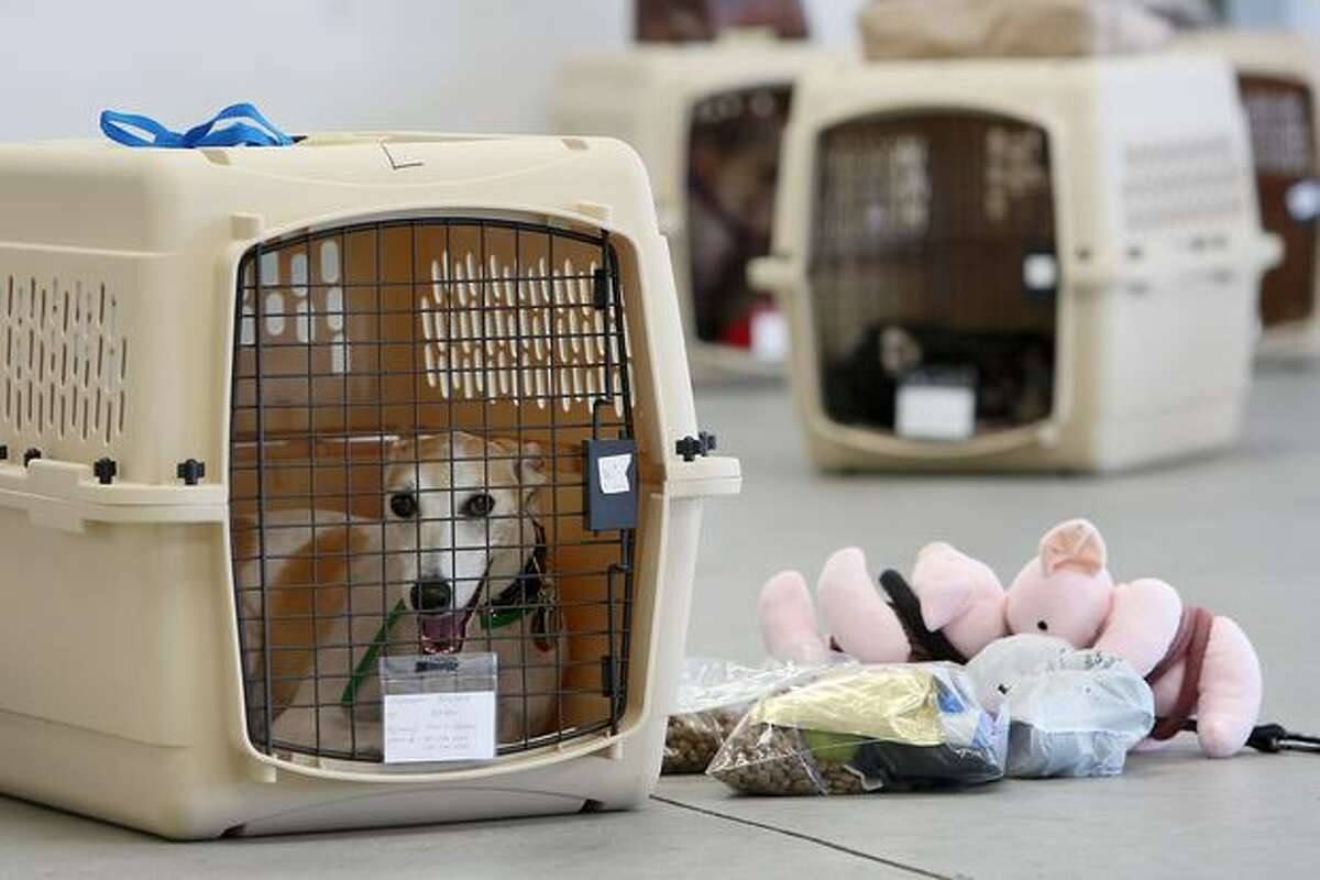 A dog sits in its crate near stuff toy pigs and pet food before the southern California maiden voyage of Pet Airways in the Los Angeles-area city of Hawthorne, California. The new pets-only airline will make stops in Denver, Chicago, Washington, DC and New York. Pet Airways, based in Delray Beach, Florida, is operating a 19-passenger Beech 1900 aircraft in partnership with Suburban Air Freight with the seats removed to carry up to 50 pets in animal crates per flight. Despite economic hard times for most U.S. businesses, the airline expects to add service to Boston later this year and expand into 25 cities within two years.