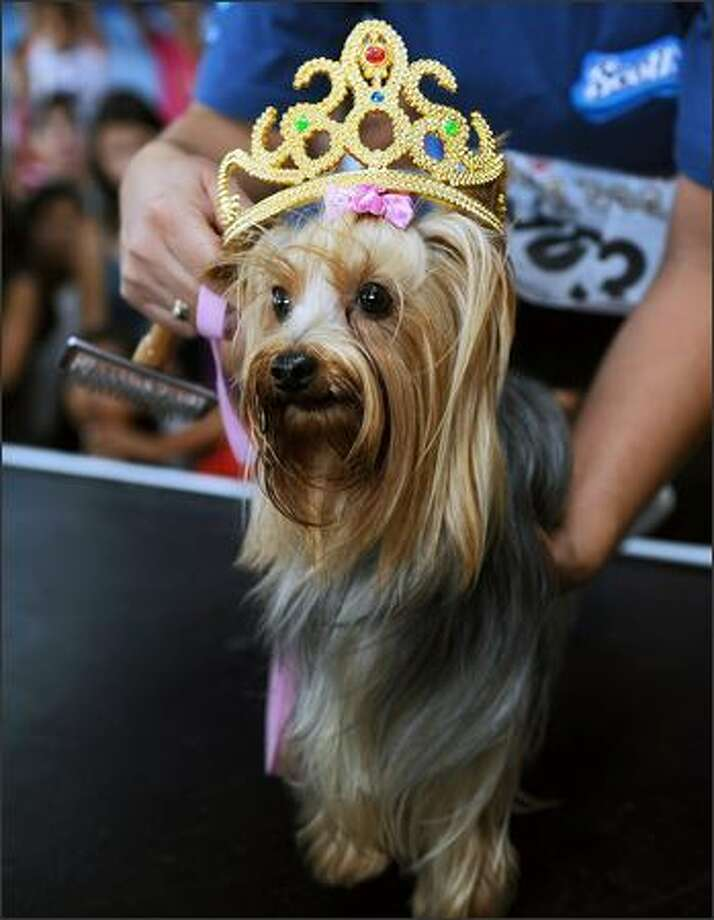 "Sammy, a female Yorkshire Terrier, is crowned as the winner of ""Miss Canine Costa Rica 2008"" in the adult category in San Jose. In total, some 300 dogs participated in the two-day contest being organized by ""Pets y mas"" (Pets and more), a magazine specializing in dogs. Photo: Getty Images / Getty Images"