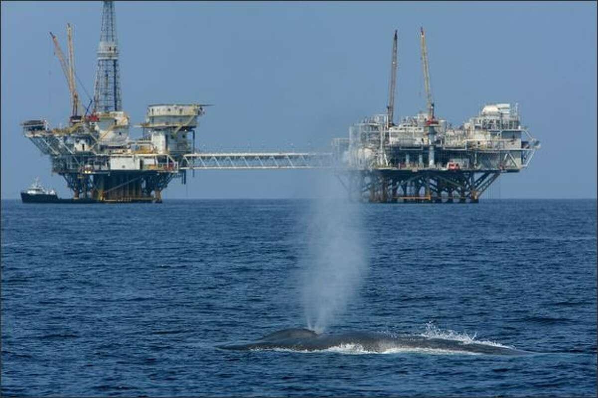 A rare and endangered blue whale, one of at least four feeding 11 miles off Long Beach Harbor in the Catalina Channel, spouts near offshore oil rigs near Long Beach, California. In decades past, blue whales were rarely seen along California's coastline but their migration and feeding patterns are changing. Before whalers stepped up their kill rate in the 1800s, there were at least 220,000 to 300,000 around the world. Today less than 11,000 survive worldwide with 1,200 to 2,000 in the Pacific waters off California.