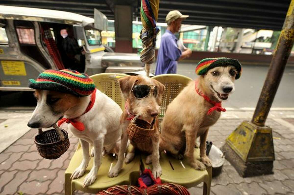 Dogs, wearing hats and sunglasses, are used by their owner to beg for coins in Manila on July 22, 2010. The Philippine government said it would give money directly to poor families in an effort to fight a sharp rise in the number of Filipinos enduring severe hunger. President Benigno Aquino's new administration said it wanted to act after a survey released reported that about 780,000 families in the Philippines, 4.2 percent of the total, felt hunger