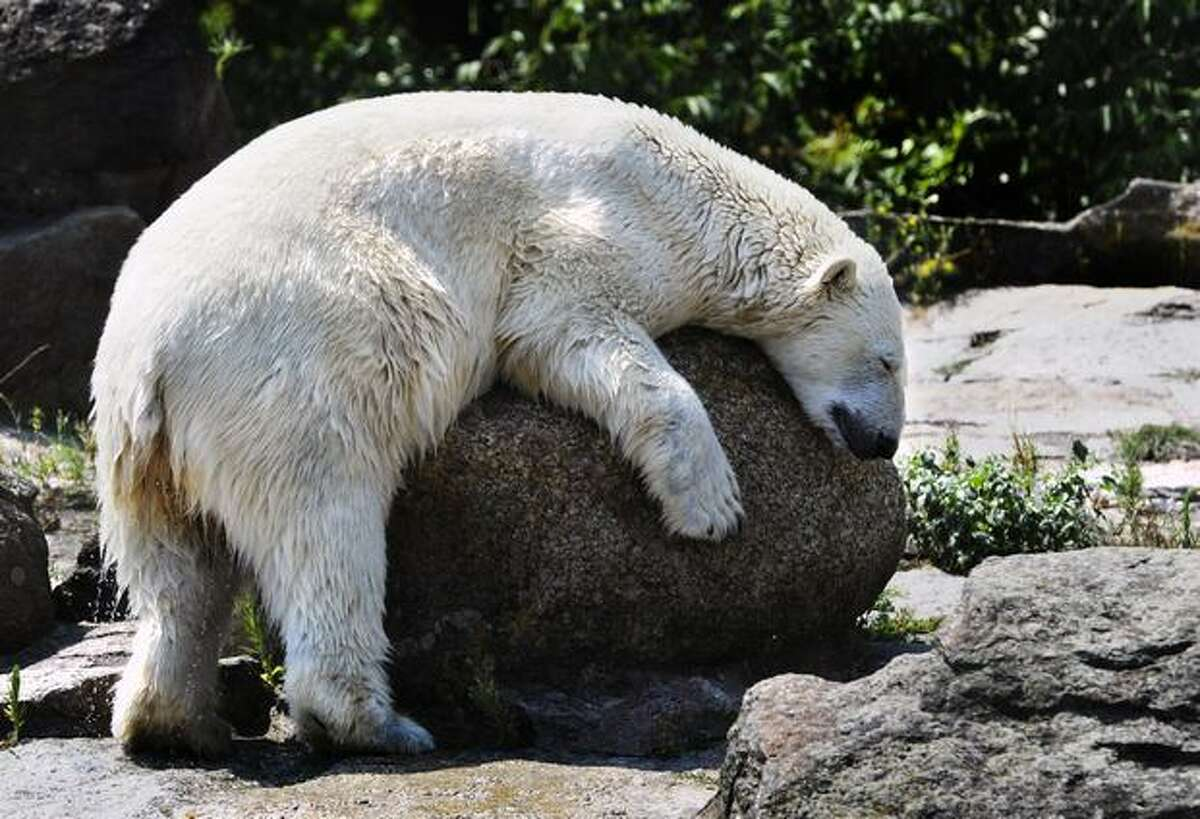A polar bear dries off in the sun after coming out of the water in his enclosure at Berlin's zoological garden zoo on July 22, 2010.