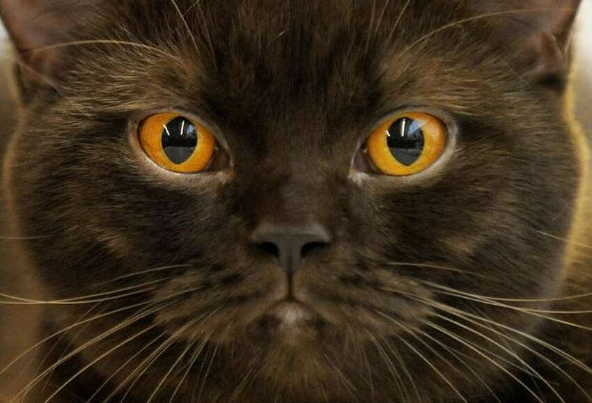 A Burmese cat is presented during a two-day international cat exhibition in Prague.