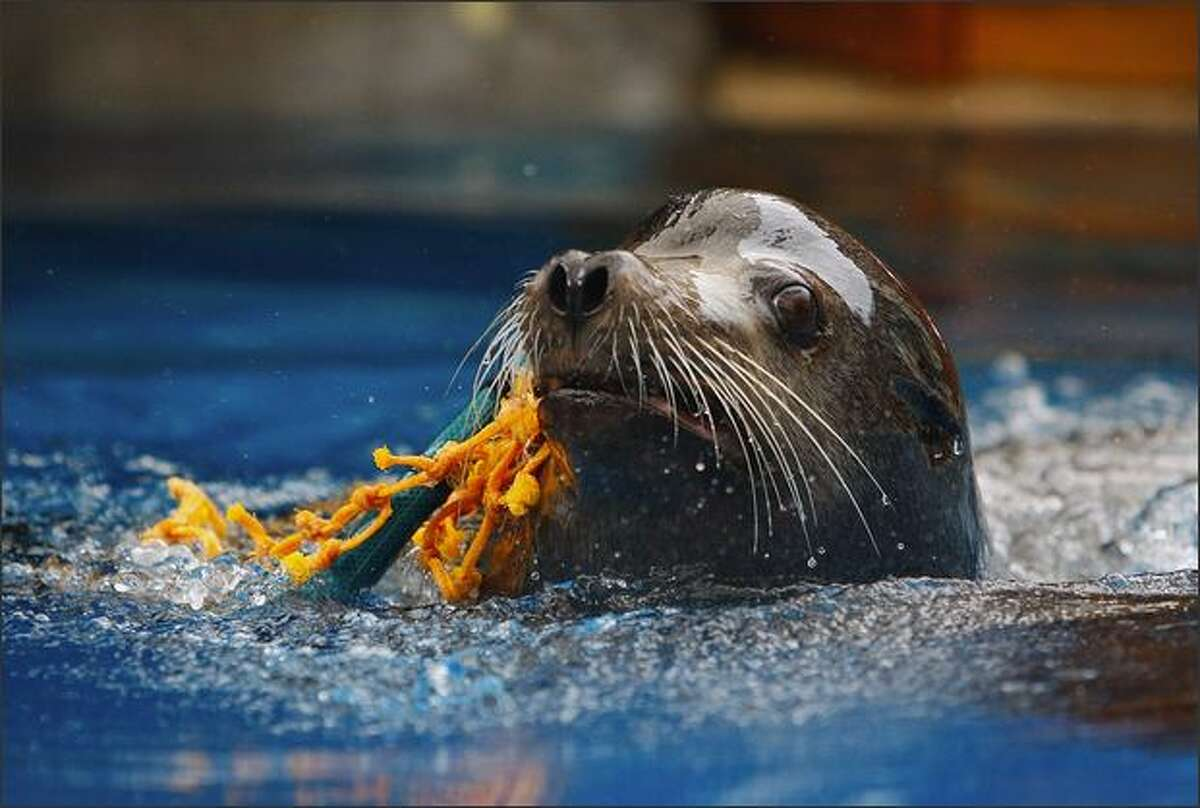 'Michie' a Californian Sea Lion demonstrates how he can get caught in a net in the ocean during the Re-Opening of the Taronga Zoo Seal Show in the Great Southern Oceans Precinct in Sydney, Australia.