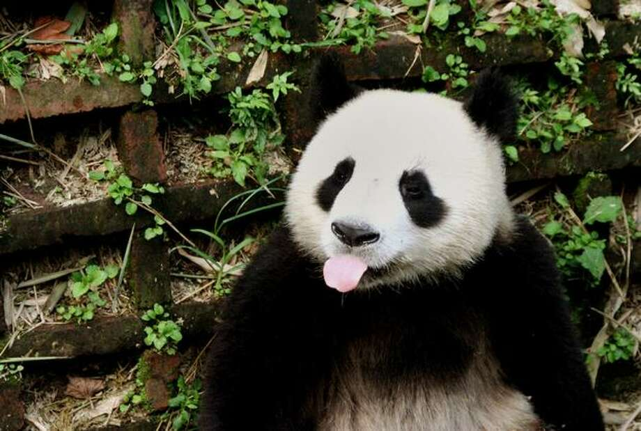 A giant panda plays at the Research and Conservation Center for the Giant Panda in Chengdu, southwest China's Sichuan province. There are only 1,590 remaining pandas in the wild, mostly in Sichuan, Shaanxi and Gansu provinces, as another 290 are in captive-bred programs worldwide, mainly in China, according to official reports. Photo: Getty Images / Getty Images