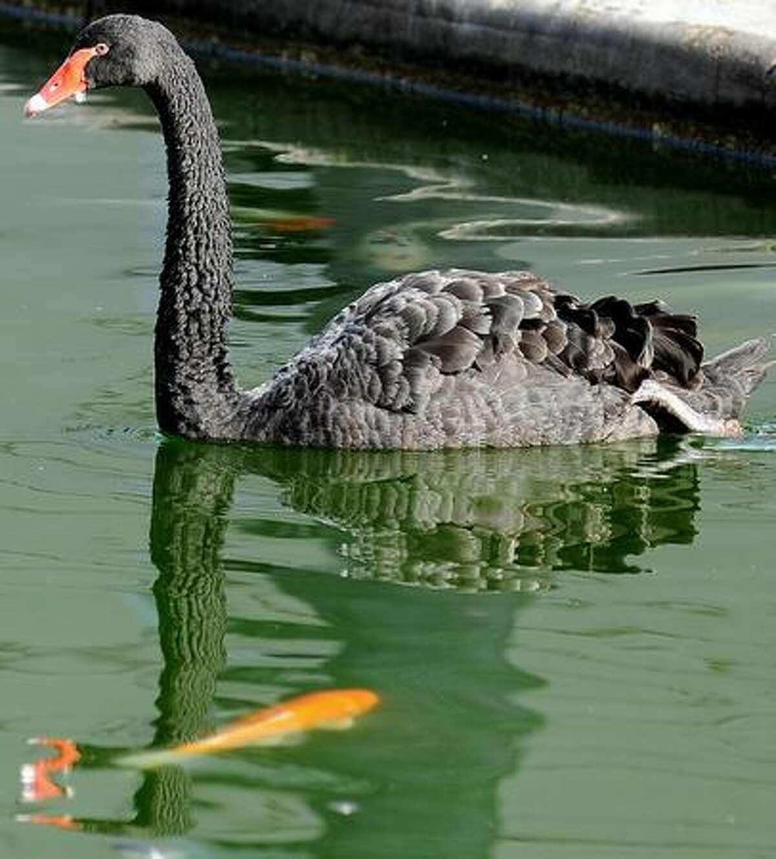 A black swan swims in a lake of the Itamaraty Palace gardens in Rio de Janeiro.