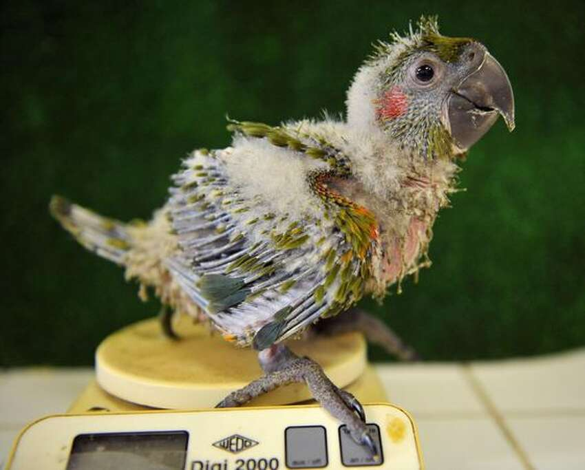 A baby macaw rubrogeny (ara rubrogeny) stands on a scale at the Jurques zoo, near Caen, western France. Two macaw rubrogenys were born at the zoo on June 26, 2009.