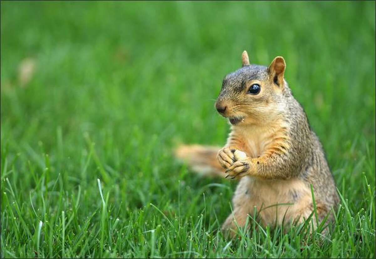A squirrel nibbles on a nut during first round of the World Golf Championship Bridgestone Invitational at Firestone Country Club in Akron, Ohio.