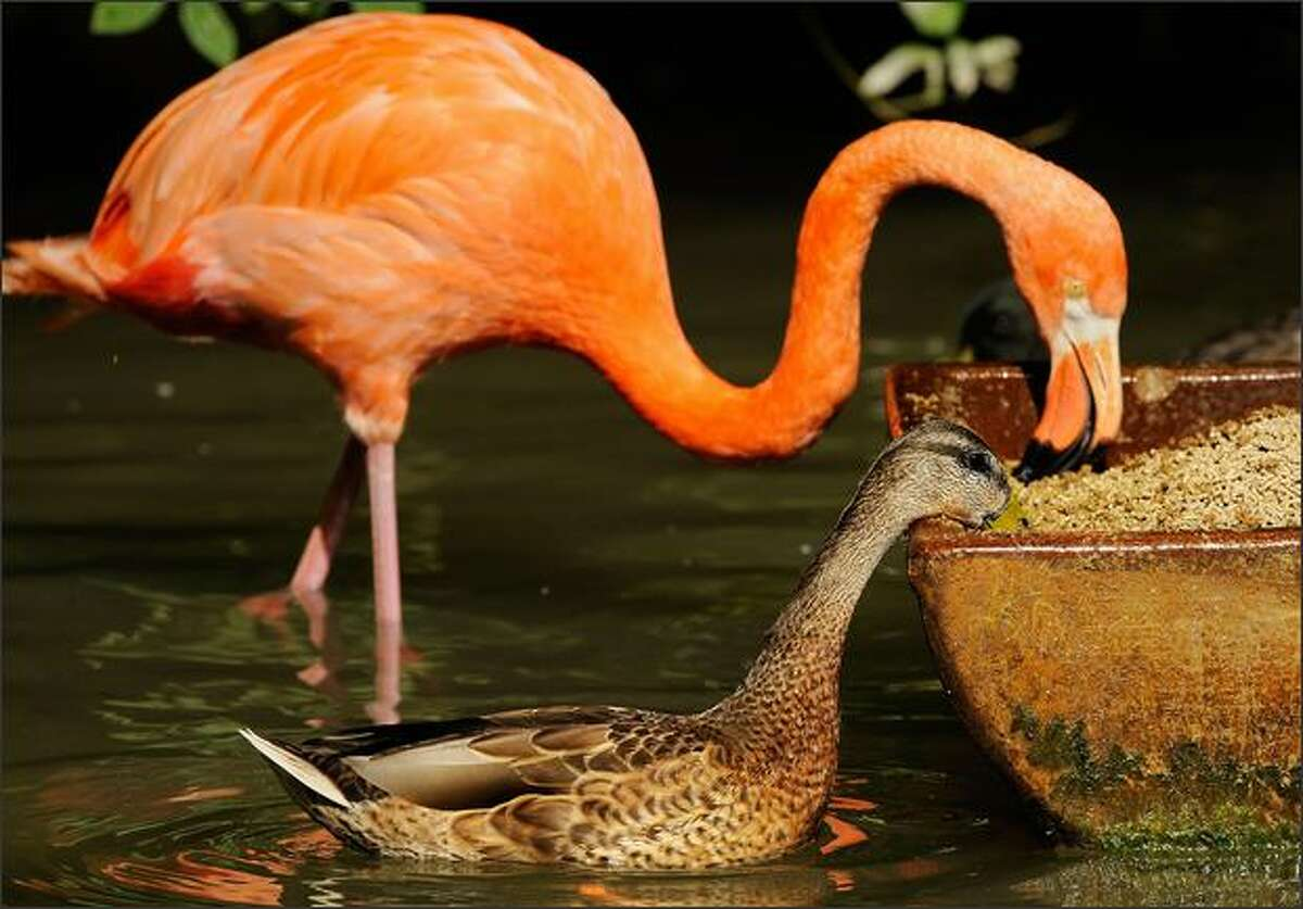 A duck and a flamingo eat out of the same feeding trough in the Hellabrunn animal park in the southern German city of Munich. The flamingo is most common to the Western Hemisphere but can also be found in the Eastern Hemisphere.