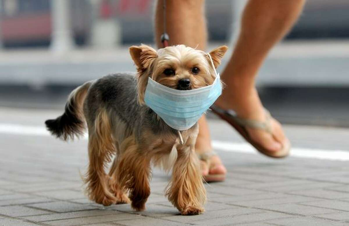 A small dog wears a face mask for protection against forest fire smoke in Moscow on August 10, 2010.
