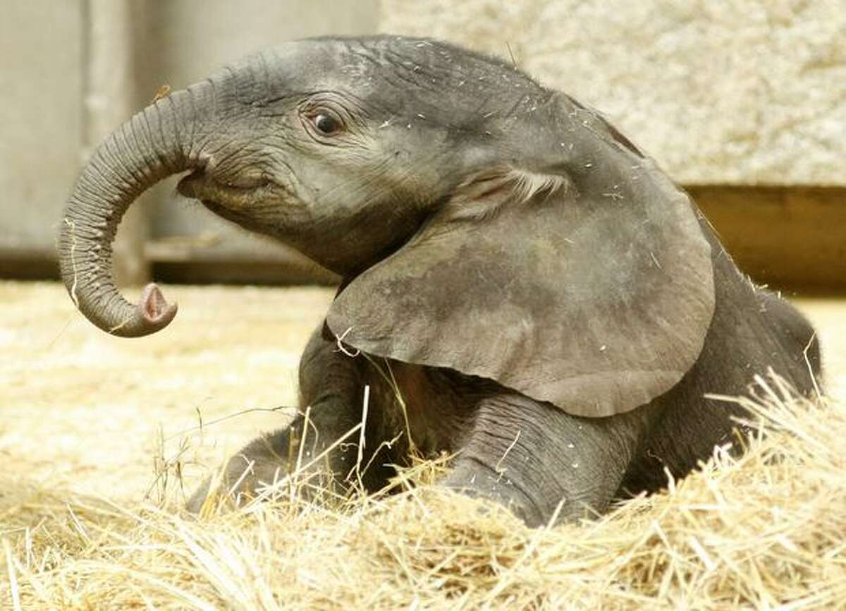 A five-day old male elephant is pictured in the Schoenbrunn zoo on August 11, 2010 in Vienna. The Schoenbrunn zoo is the world's oldest zoo, according to its website.