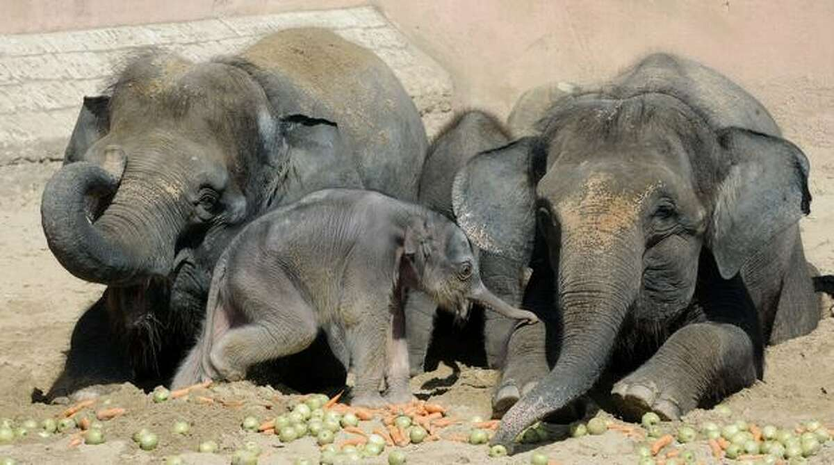 A five-day-old baby elephant walks in its enclosure next to his mother Manari (L) and his aunt Sayang (R) at the zoo in Hanover, Germany on August 10, 2010.