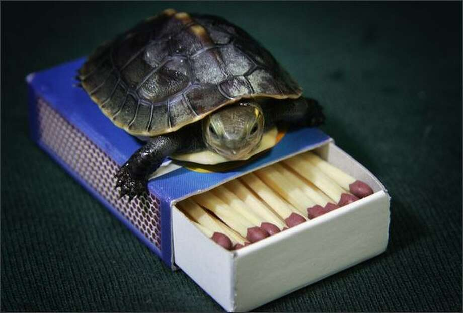 In this photo illustration, an endangered Chinese box turtle which recently hatched at Bristol Zoo is placed on a box of matches. It currently weighs just 15 grams and measures around 4cm long whereas an adult box turtle weighs around 800 grams, measures around 16 cm long and can live up to 50 years. Chinese box turtles are hunted for their meat for use in medicine or as pets and have been listed as endangered on the International Union for Endangered Species Red List. Photo: Getty Images / Getty Images