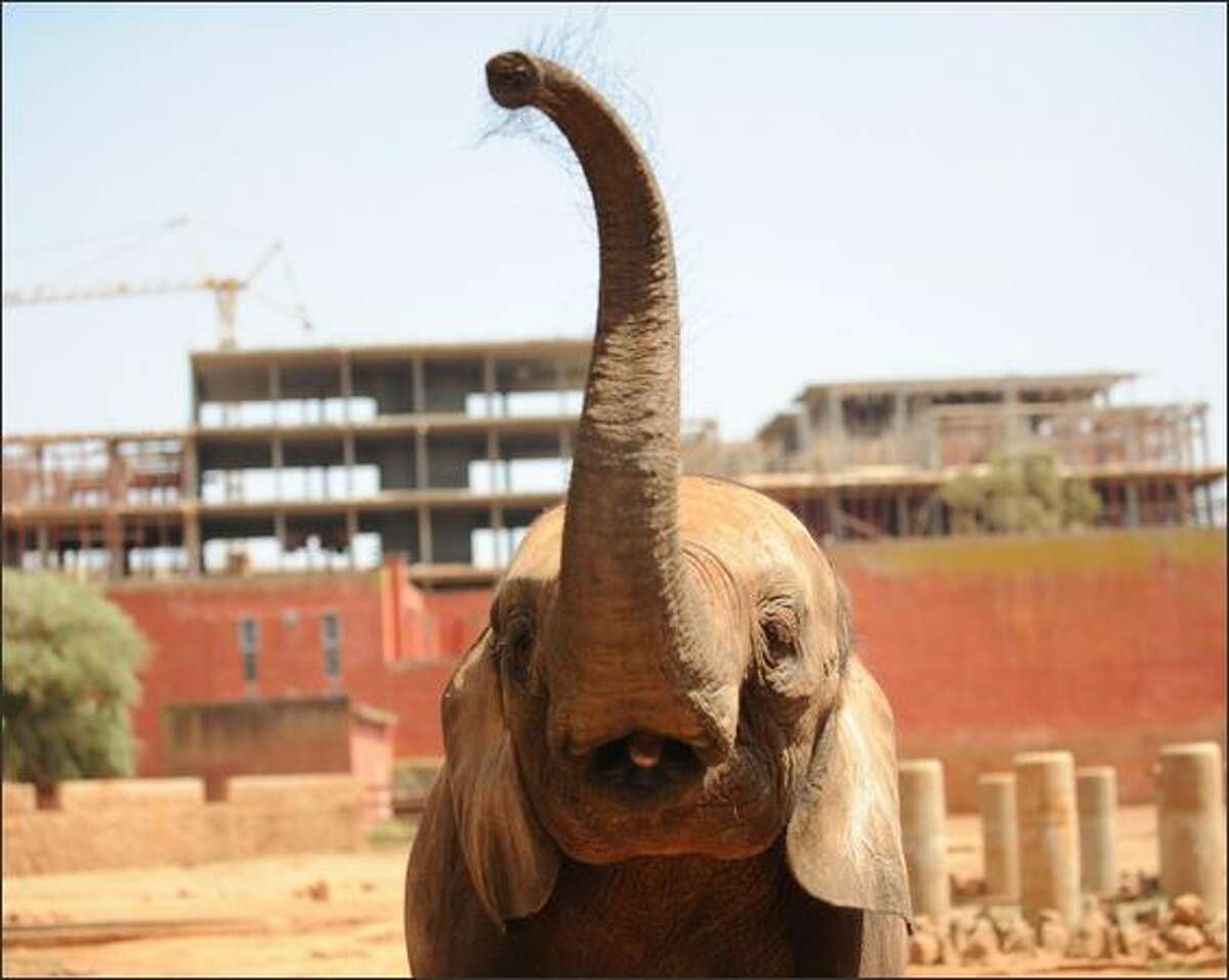 An elephant raises its trunk in the Rabat zoo as a large complex is built on part of land that houses the zoo. Two months ago a family of giraffes died, apparently due to the stress caused by the non-stop sound of jackhammers and trucks on the building site.
