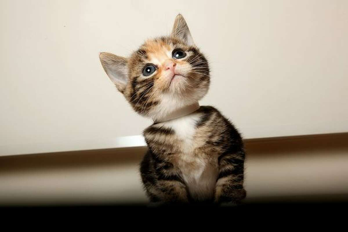 A stray kitten poses for a photograph at Battersea Dogs and Cats Home in London, England. Battersea Dogs and Cats Home is seeing a sharp rise in the number of cats requiring a home with 143 of the 145 shelter's pens full.