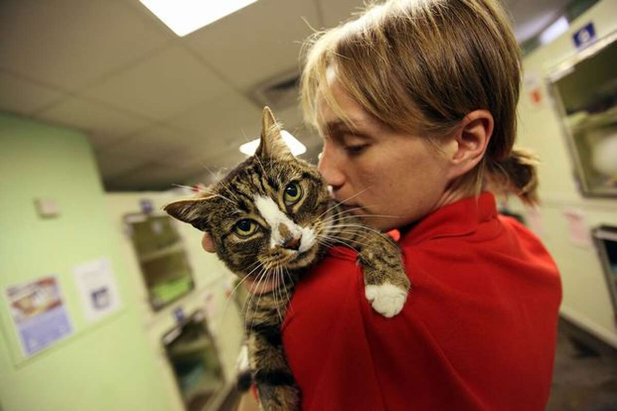 A stray cat is taken out of it's pen at Battersea Dogs and Cats Home in London, England. Battersea Dogs and Cats Home is seeing a sharp rise in the number of cats requiring a home with 143 of the 145 shelter's pens full.