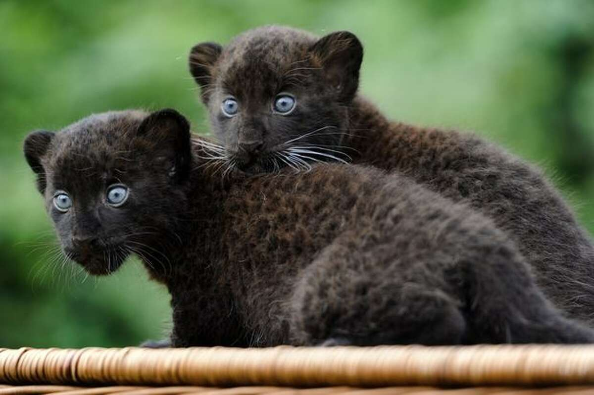 Newly born Black Panther twins Baturgai and Ormilia are presented to media at east Berlin's zoological garden